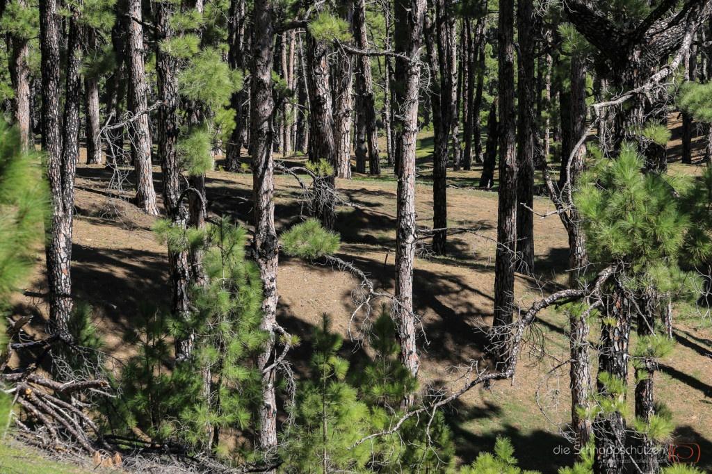 Waldstrukturen auf El Hierro