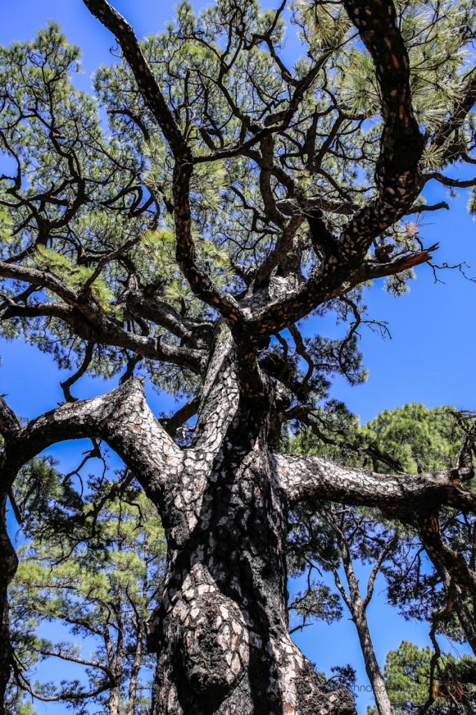 Pinienwälder auf El #Hierro