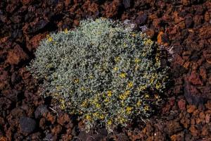blühende Lavafelder auf El #Hierro
