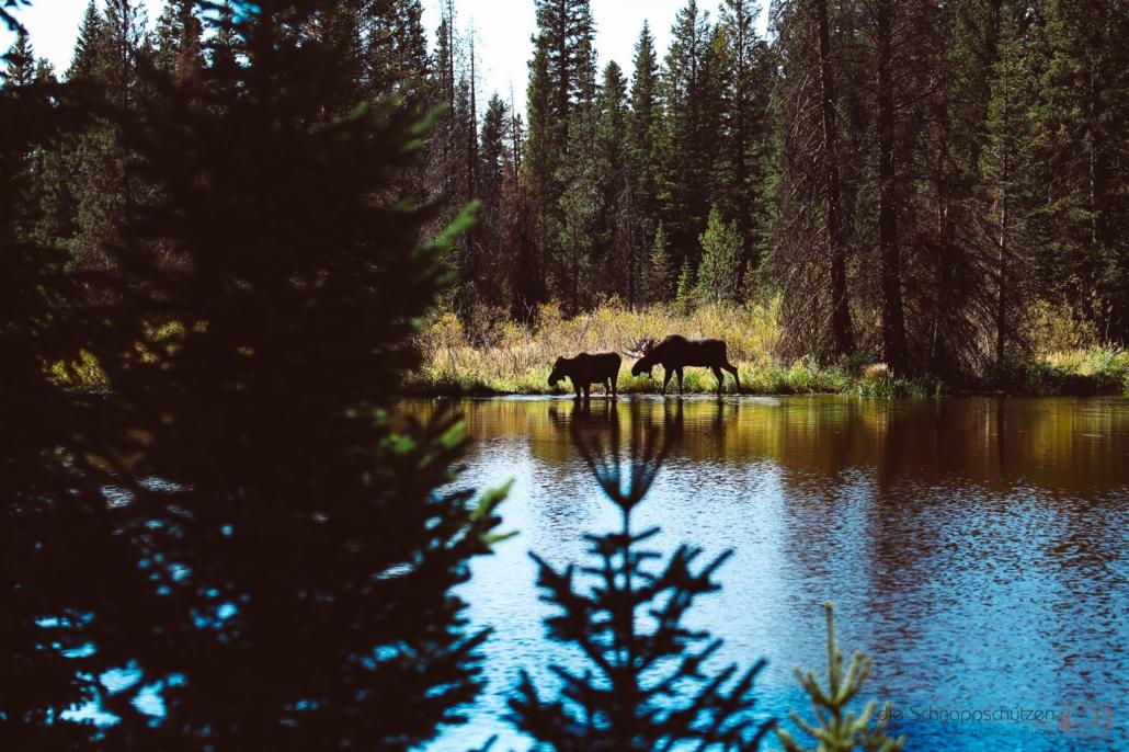 moose - elch